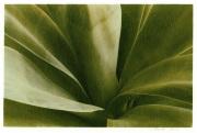 Mary Donato- agave