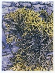 Mary Donato- seaweed1